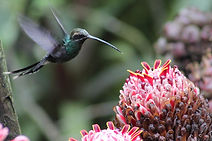 Hummingbird visiting flower in nature reserve and biological station in Ecuador South America