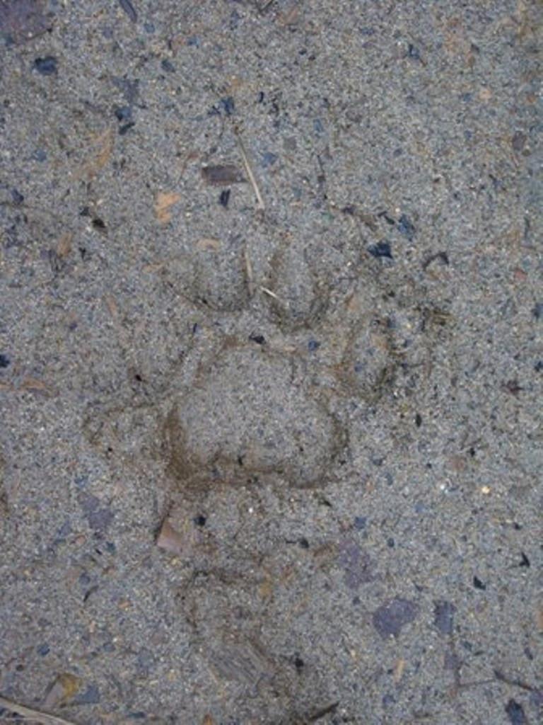 Puma track
