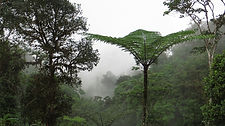 Tree ferns in nature reserve and biological station in Ecuador South America