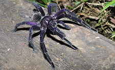 Tarantula in nature reserve and biological station in Ecuador South America