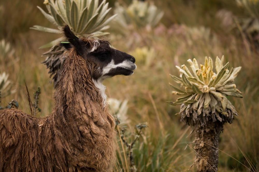"""Llama and """"frailejon"""""""