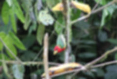 Fruit feeding station for birds at nature reserve and biological station in Ecuador-South America.