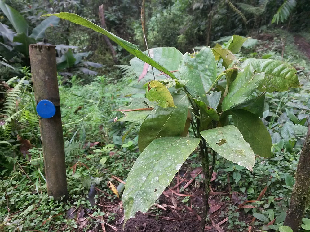 Cacoa plant with its symbol