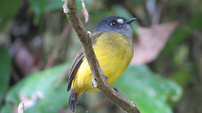 Birdwatching at Un poco del Chocó Nature Reserve Ecuador South America