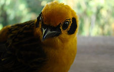 Golden Tanager in nature reserve and biological station in Ecuador South America