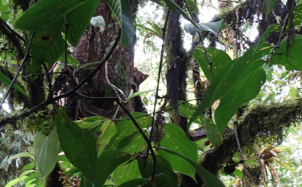 Ocelot hiding behind tree trunk