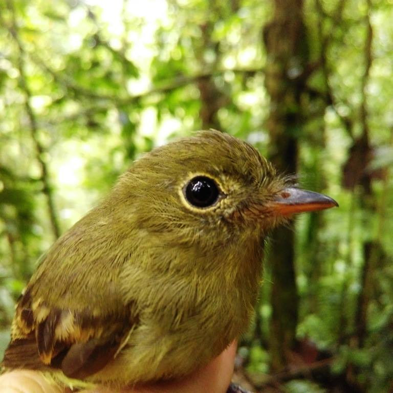 New species recorded in the reserve: Orange-crested Flycatcher