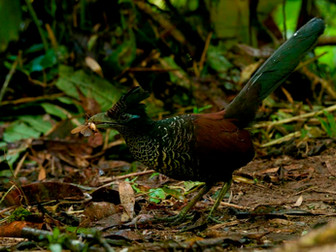 Banded Ground-Cuckoo Update