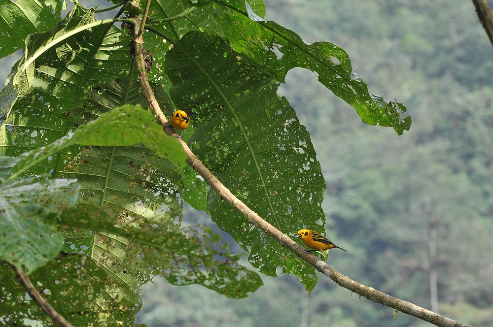 The common but beautiful Golden Tanagers
