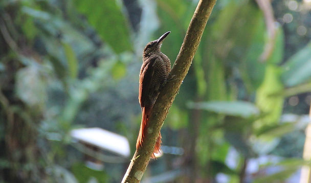 Northern Barred Woodcreeper in the nature reserve Un poco del Chocó, the ideal place for bird watching in the Chocó ecoregion.