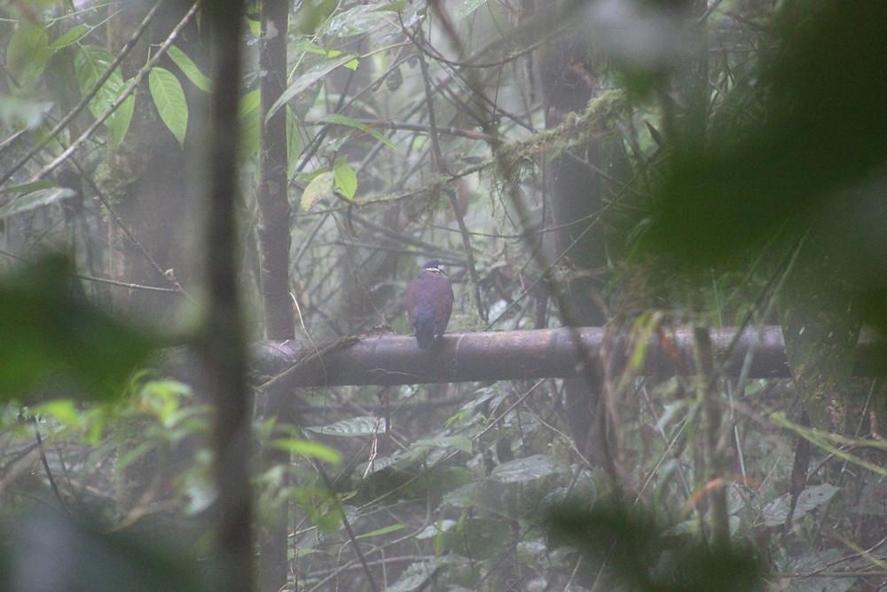 Indigo-crowned Quail-Dove