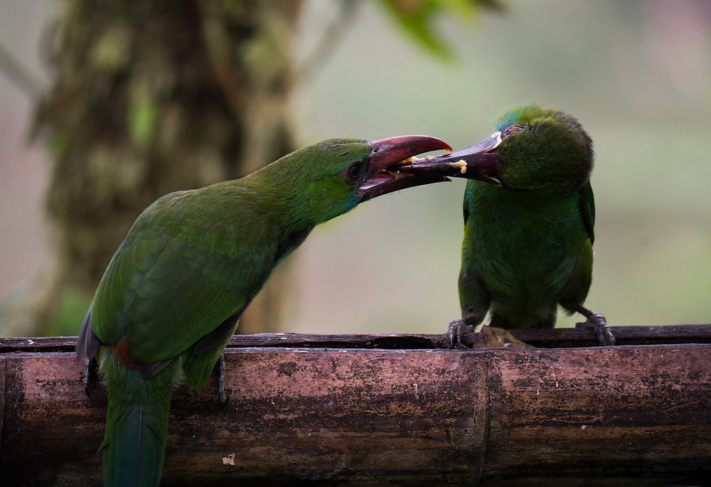 Crimson-rumped Toucanets at feeder
