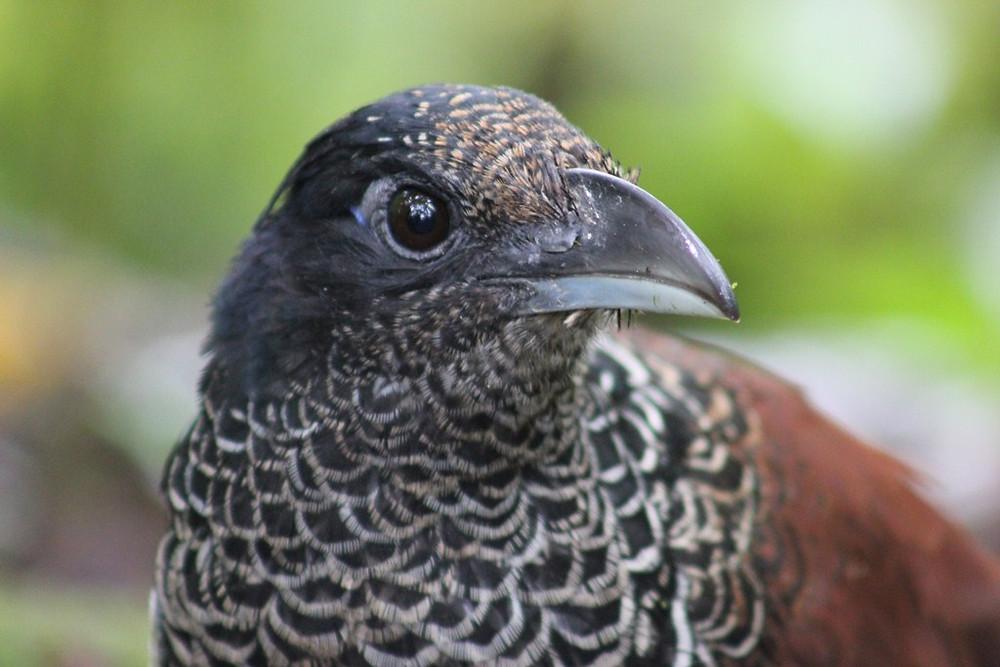 Banded Ground Cuckoo Portrait