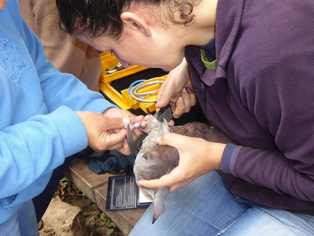 Banding the Quail-Dove
