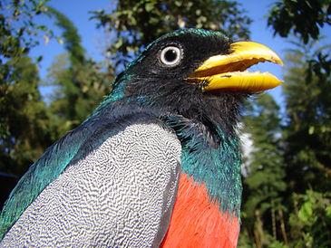 Chocó Trogon Vogeldiversität im Naturreservat Un poco del Chocó in Ecuador Südamerika