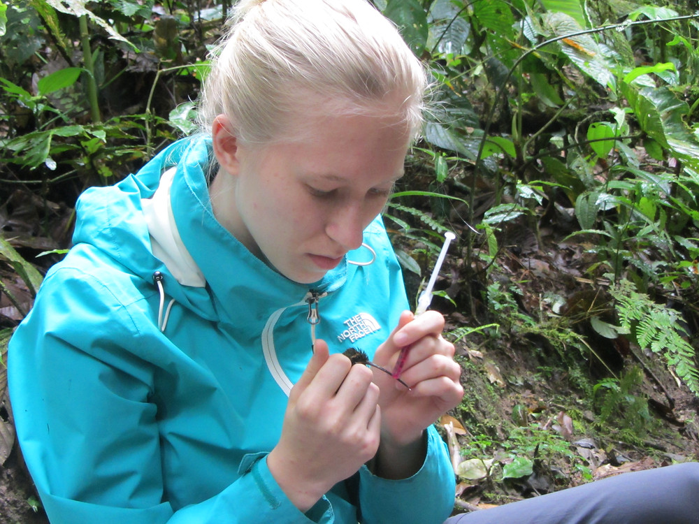 Taking pollen samples from a White-whiskered Hermit