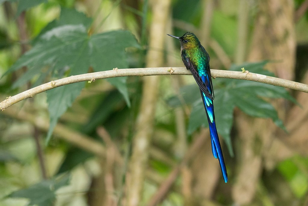 Male Violet-tailed Sylph. ©Mees Swinkels