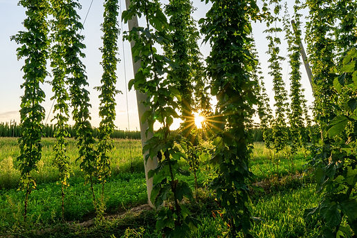 Green hops field. Fully grown hop bines.