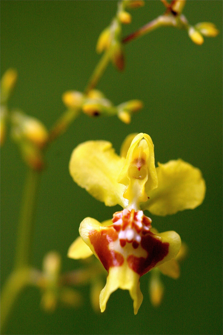 14 Colombian orchids are considered amon