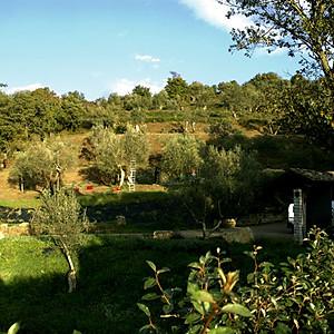 2006 Olive Harvest