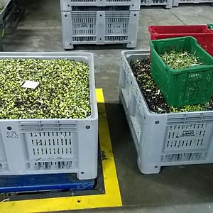 2016 Olive Harvest