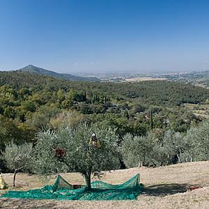 2011 Olive Harvest