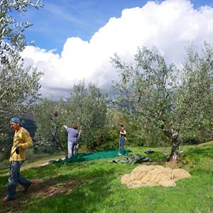 2012 Olive Harvest