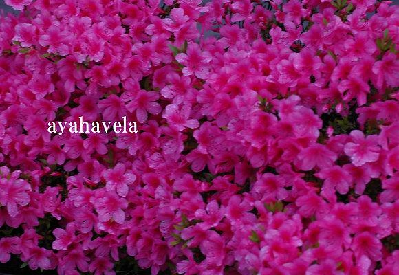 aromatic message photo ~ howahowa ~