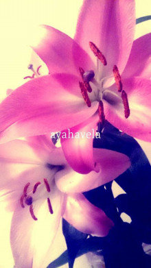aromatic message photo ~oriental lily~