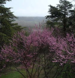 Year of the Redbuds