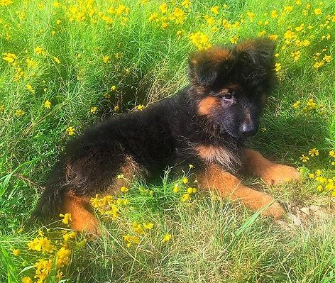 AKC German Shepherd puppy for sale