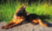 German shepherd for sale, German Shepherd breeder