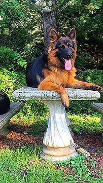 Stud German Shepherd, male german shepherd,stud dog