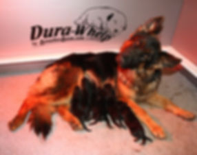 German Shepherd, puppies, GSD puppies, AKC puppies