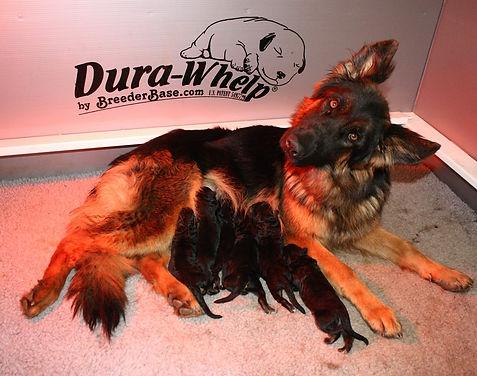 German Shepherd, puppies, GSD puppies, AKC puppies