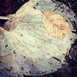 Hosta and Beech leaves, post snow melt