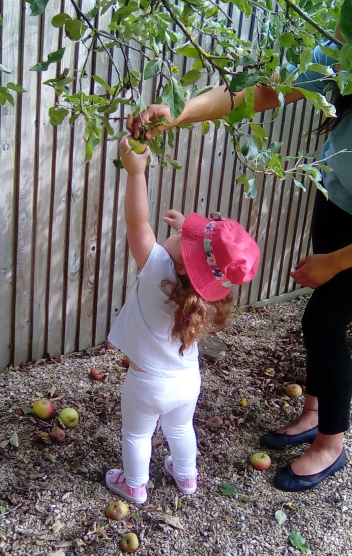 apple picking (5)