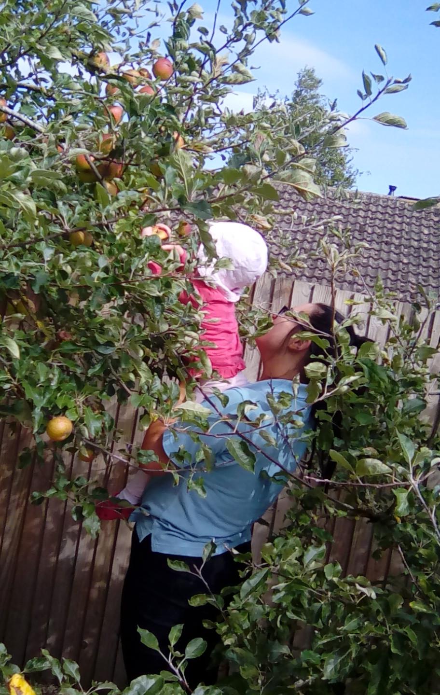 apple picking (4)
