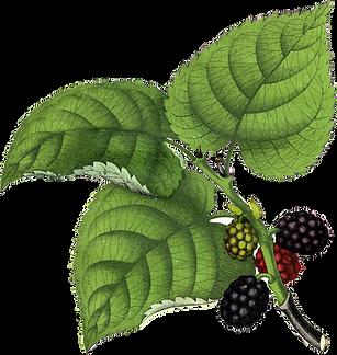 Vintage-Huckleberries-Clip-Art-GraphicsF