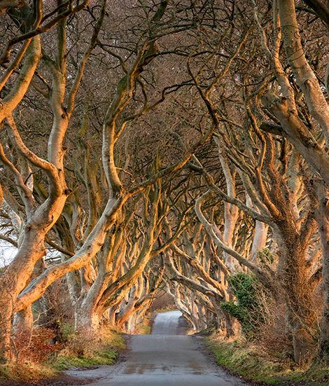 The Dark Hedges (Portrait)