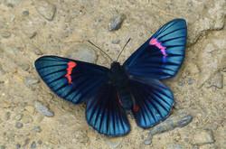 Necyria bellona