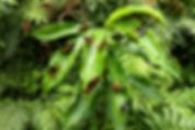 Lyropteyx apollonia Sunstreak Tours butterfly photography