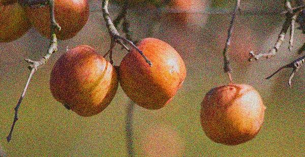 apples n autumn WS.jpg
