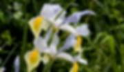 Yellow Iris cutout & watercolour WS.jpg