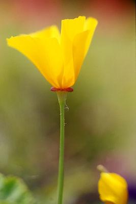 Poppy WS.jpg
