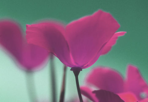 purple poppies 1a.jpg