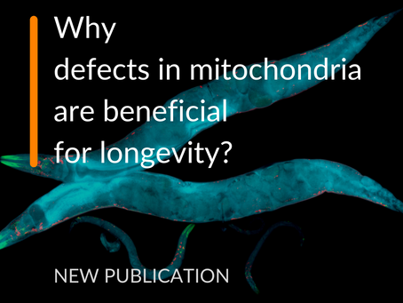 Why defects in mitochondria are beneficial for longevity?