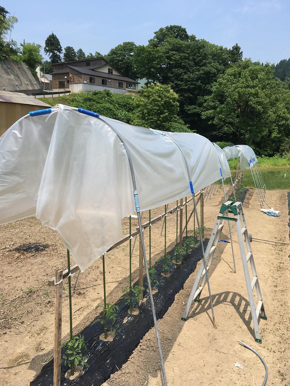 何とかできたトマトの屋根