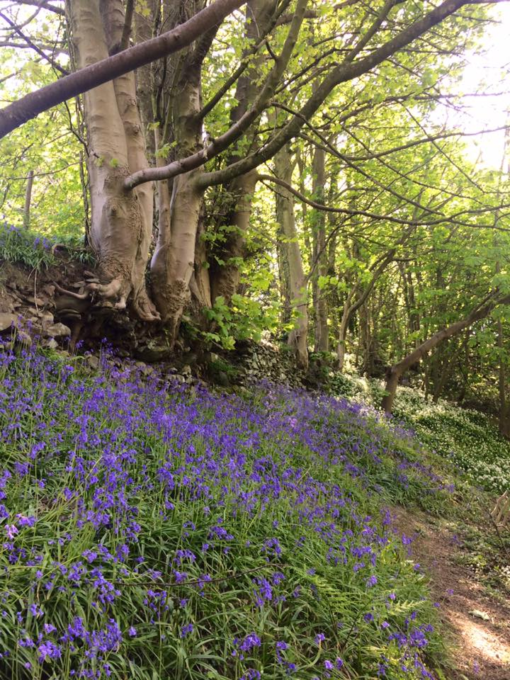 Bluebells at Gill Banks