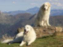 RACP Montagne des Pyrénées dit Patou